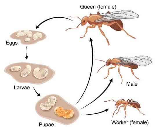 ant lifecycle