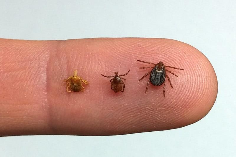 ticks on a finger