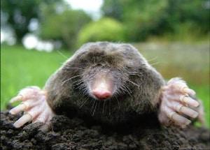 A big mole