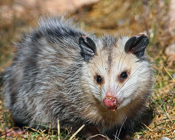 A big opossum