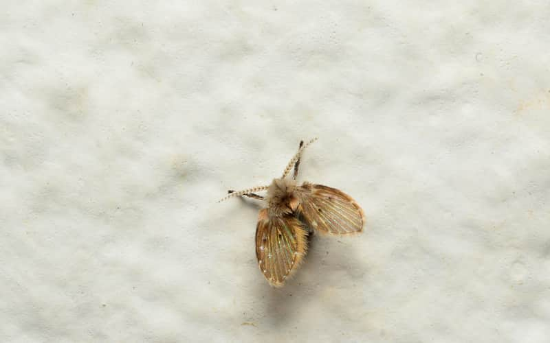 A-drain-fly