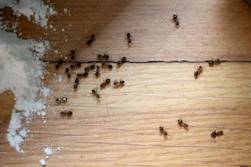 Baking soda and ants