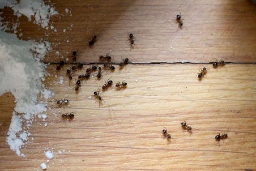 Baking soda and ants