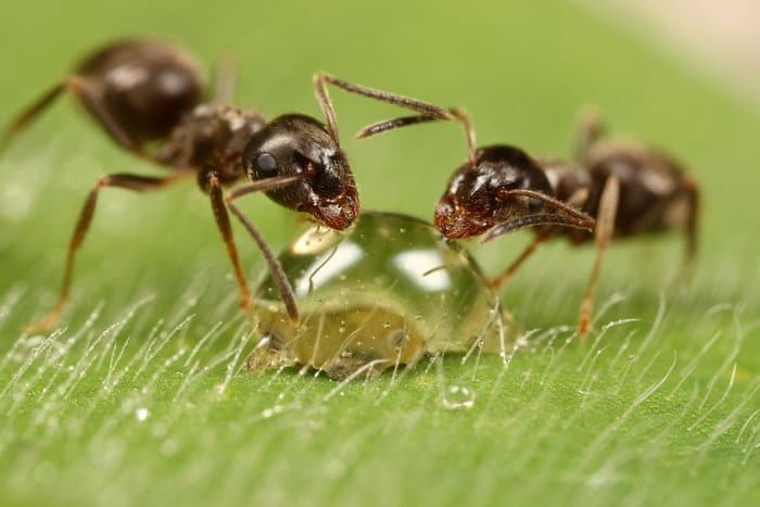 ants drinking water