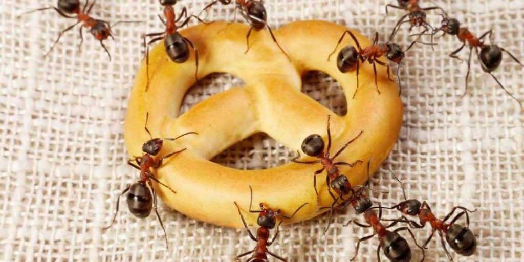 Ants eating cookies