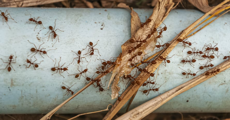 Ants on a pipe in autumn