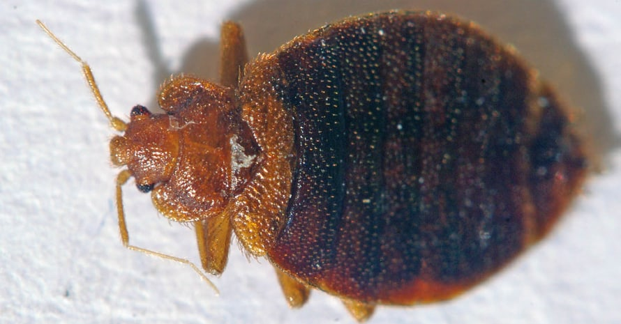 Bed Bug on a white background