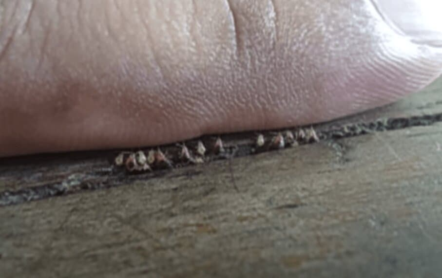 Bed bugs within a wooden framing of a table