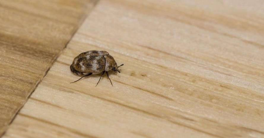 Carpet beetle on the Floor