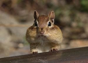 Chipmunk's chewing