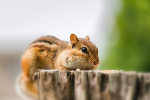 Chipmunk on wood