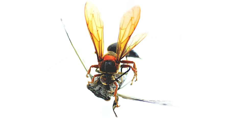 Cicada-Killer_Wasp_Taxidermy