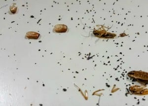 cockroach poop and cocroaches