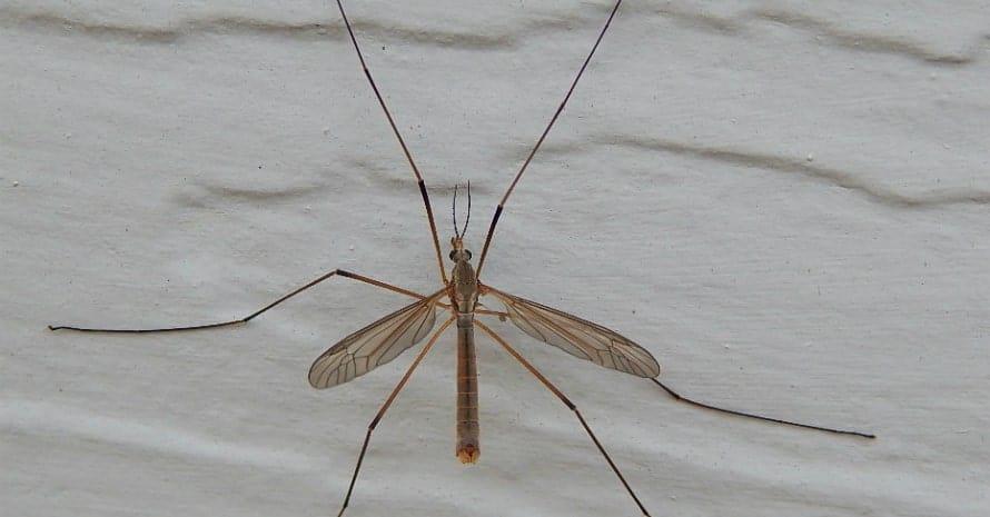 Crane_Fly_family_Tipulidae