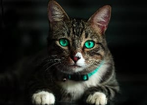 cat with green eyes and green collar