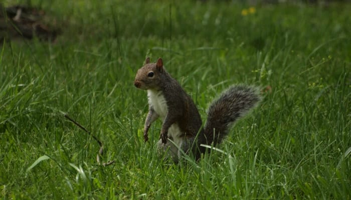 Eastern Gray Squirrel in grass