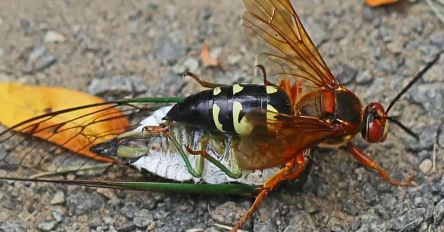 Cicada_Killer_with_2_cicadas