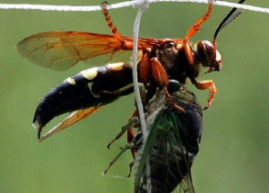 Eastern_cicada_killer_wasp_with_Cicada