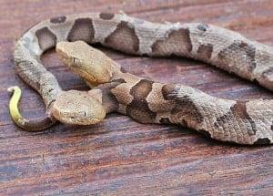 FYI Two headed snake