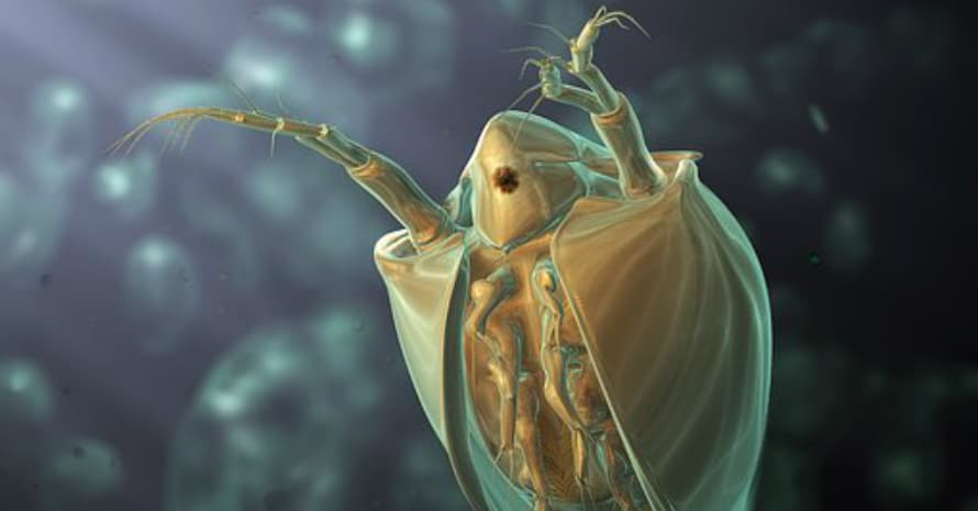 Flea under the microscope
