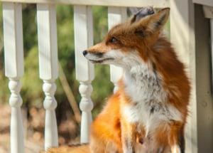 Fox on the porch