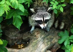 Gray and black racoon on tree log