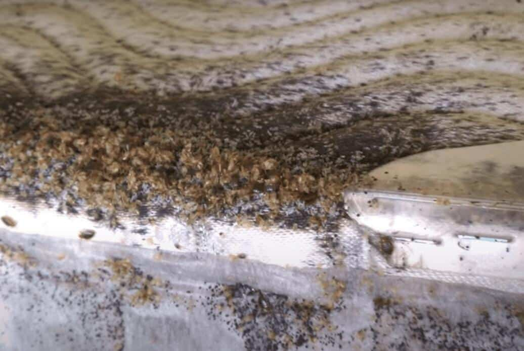 Horrific bed bug aggregation example