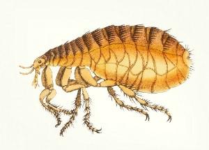 flea schematic image