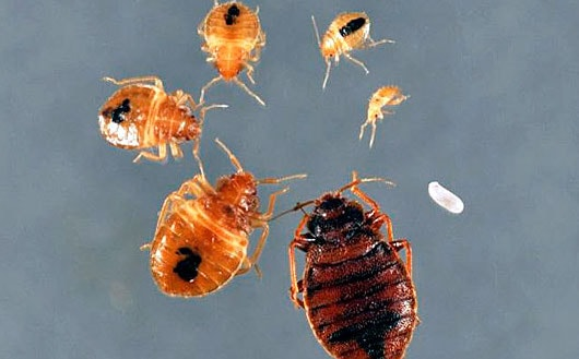 How big is a bed bug? 1-7 mm as it depends on its age