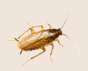 german roach nymph
