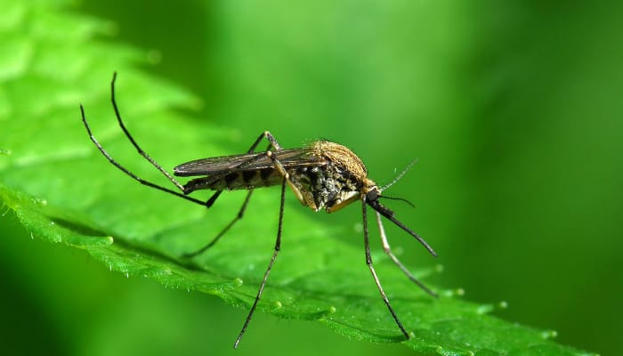 Indian Mosquito