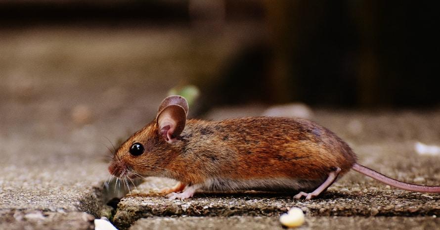 Little rat runs