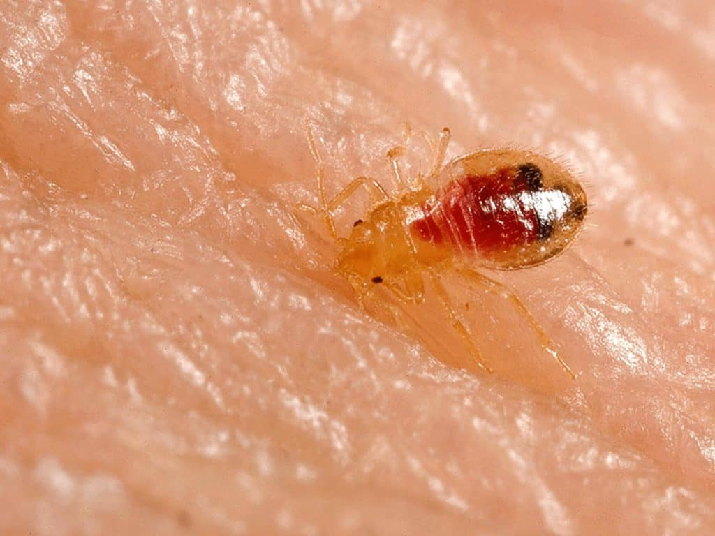 Macro photo of a bed bug nymph
