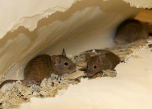 mice in the nest
