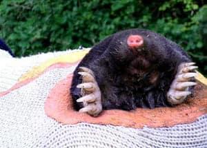 Mr Mole in smbs garden