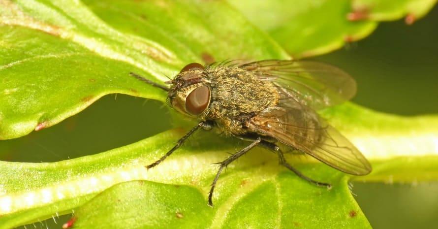 Pollenia on the leaf