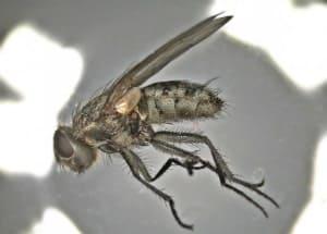 Pollenia specCalliphoridae