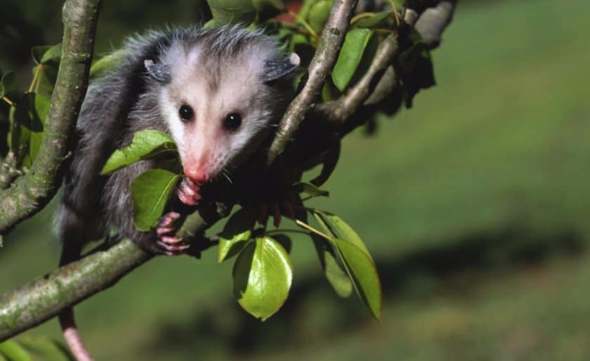 Possum among the leaves