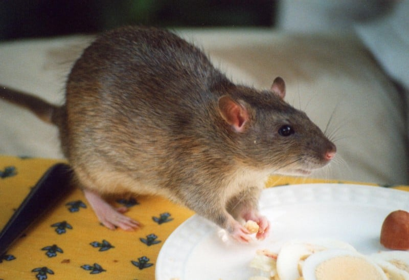 Rat-at-house