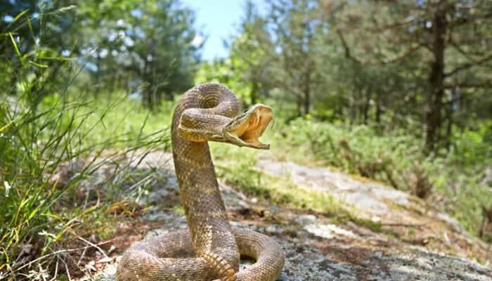 Rattlesnakes on the stone