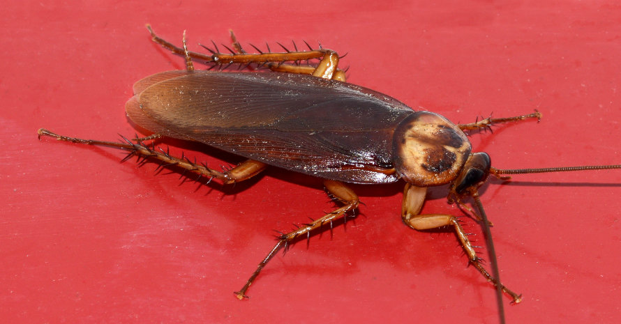 Roach on red background
