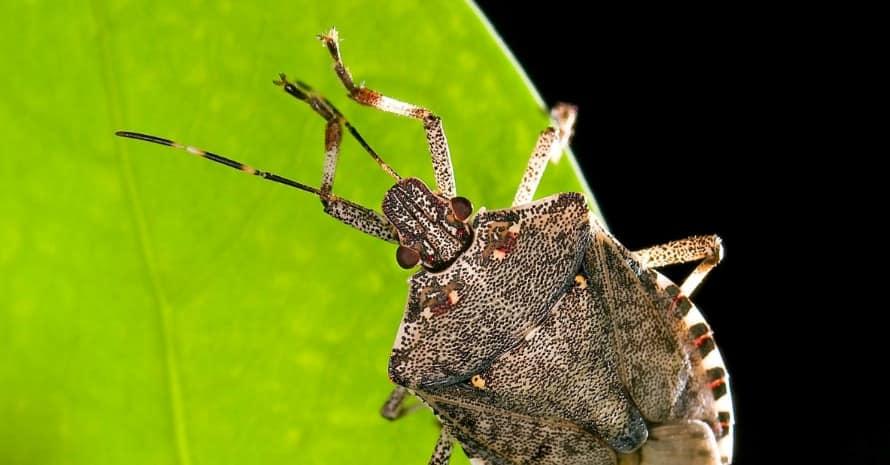 Stink Bug at leaf