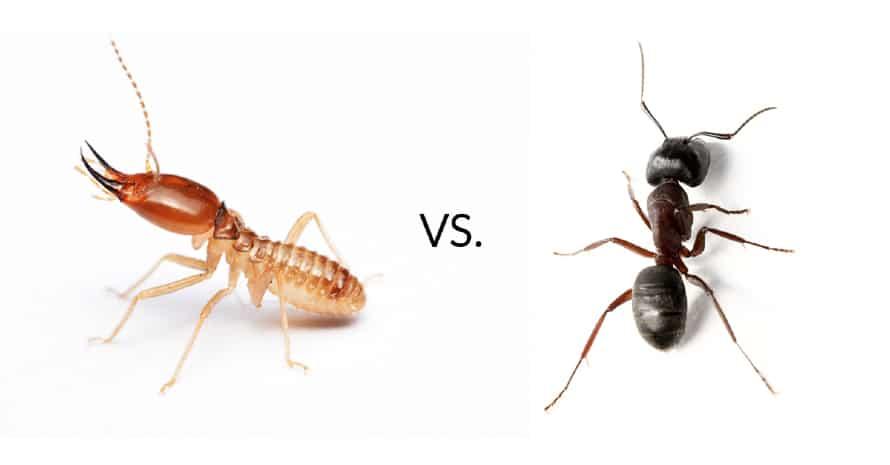 Termite vs ant at white background
