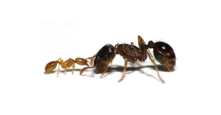 Thief ant vs ant