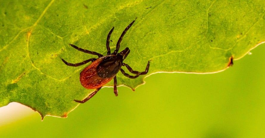 Weevil on the leaf
