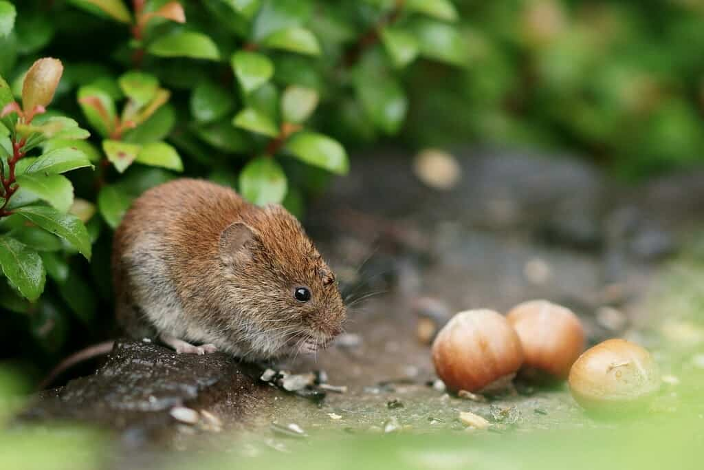 Vole eating in the garden