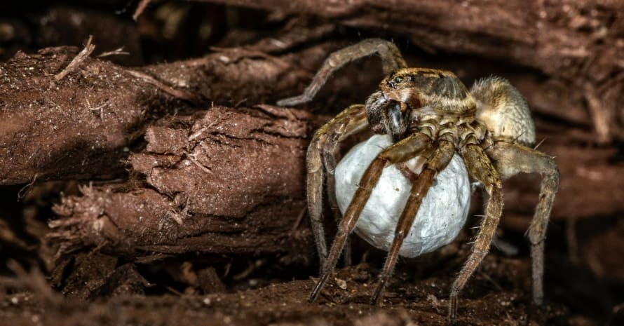 Wolf-Spider-Egg-Sac-scaled