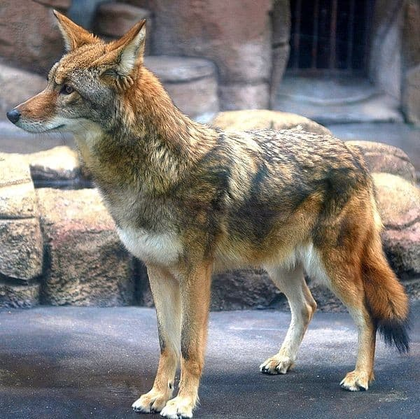 a-coyote