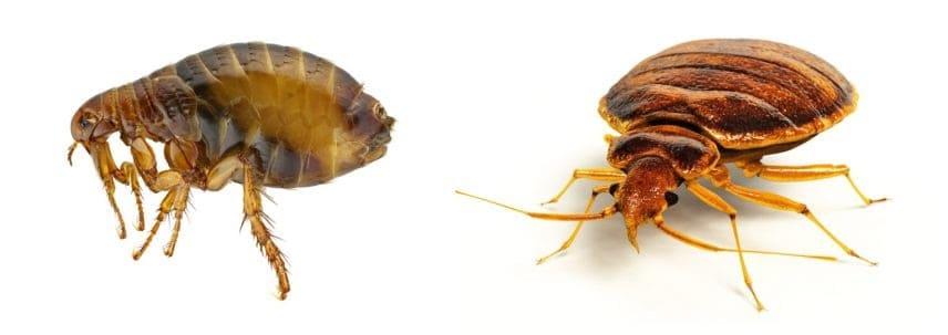 a flea and a bedbug