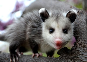 a funny possum